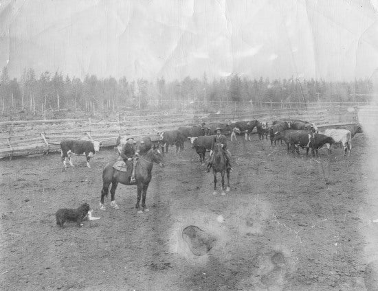 Dawson Stock Yards, July 7, 1913