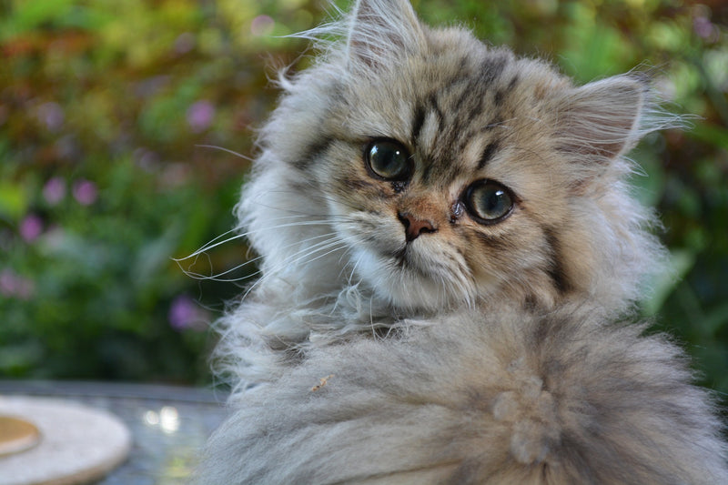 Caring For Persian Cats