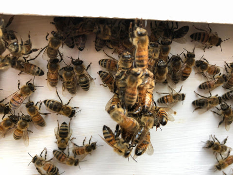 socializing bees