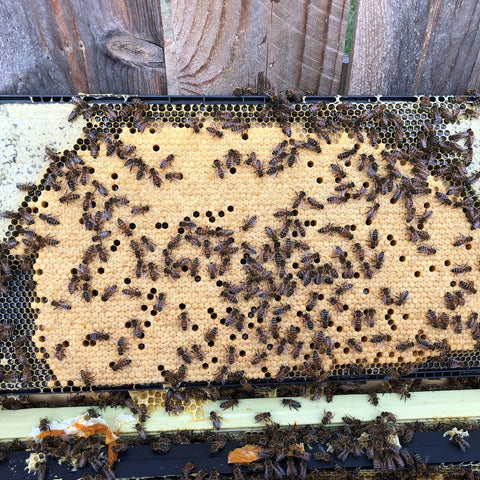 walking bees on capped honey