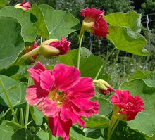 Load image into Gallery viewer, Tropaeolum Majus - Nasturtium Cherry Rose (seed)