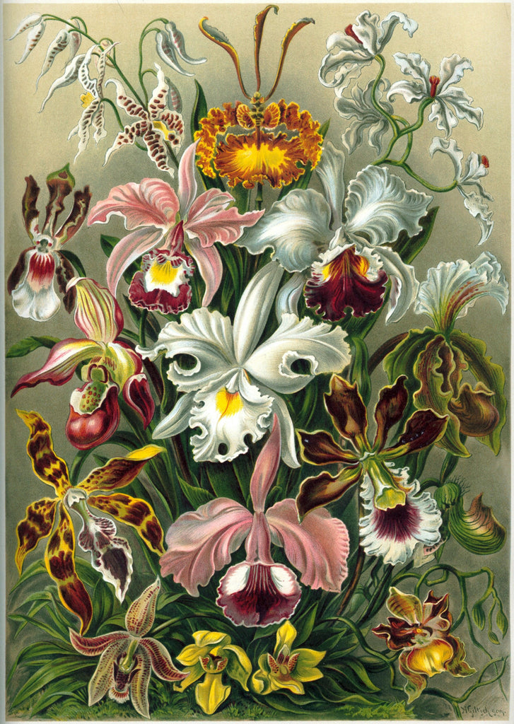 Orchidaceae by Ernst Haeckel