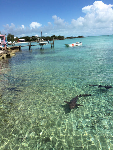 Shark in the Abacos