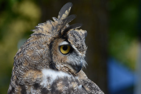 A close-up of the right side of a great-horned owl—brown, black with golden eyes and a small triangular white patch beneath its beak, head turned to the left, we see its right side with a large tree blurred in the background. Photo by Caroline Ebinger