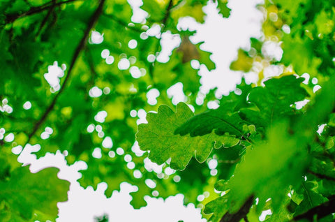 close-up of green oak leaves with sky in behind by Ira Mint on Unsplash
