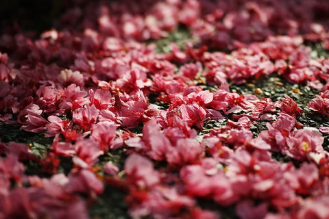 deep pink blooms fallen on the road. Photo by K V on Unsplash