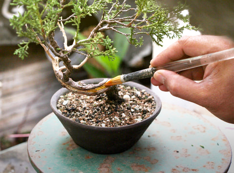 Creating deadwood painting and bleaching bonsai tree with lime sulfur
