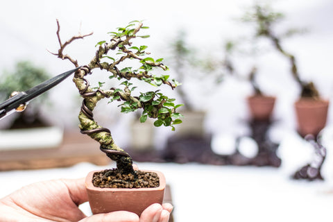 Single and double wiring a small bonsai tree