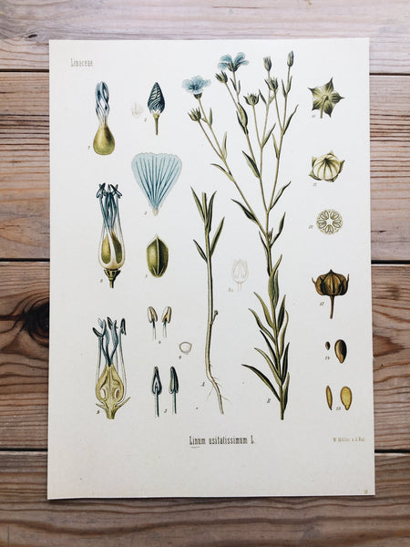 Linum usitatissimum - Botanical illustration of flax