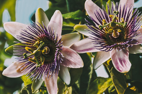 Two passionflower climber plants in garden