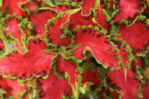 Red and green coleus close up