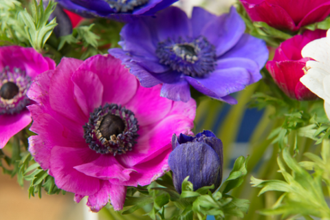 Anemone pink and purple