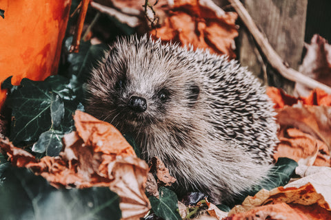 Cute hedgehog curled up in leaves in a garden