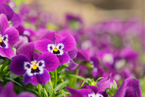 pink pansy summer bedding