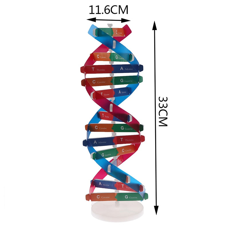 Human DNA Models Double Helix Science Toy