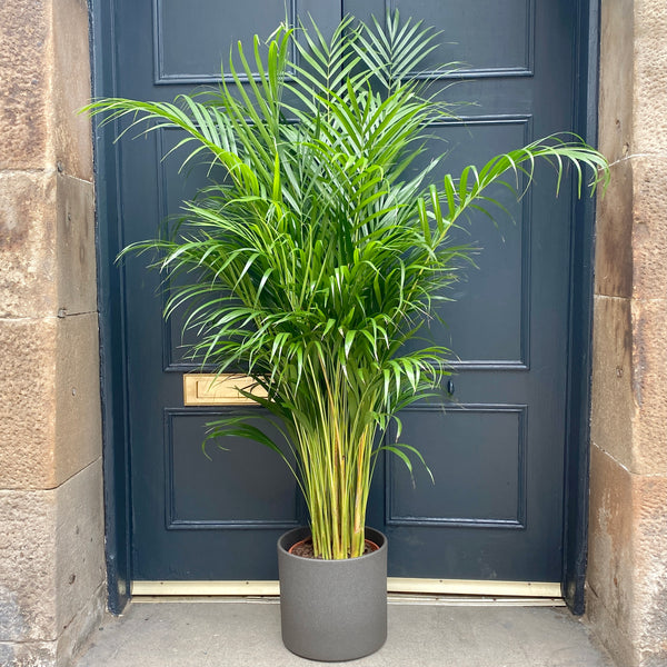 Dypsis lutescens (24cm pot / 150cm height)