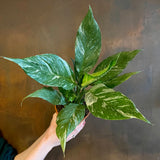 Spathiphyllum 'Diamond'