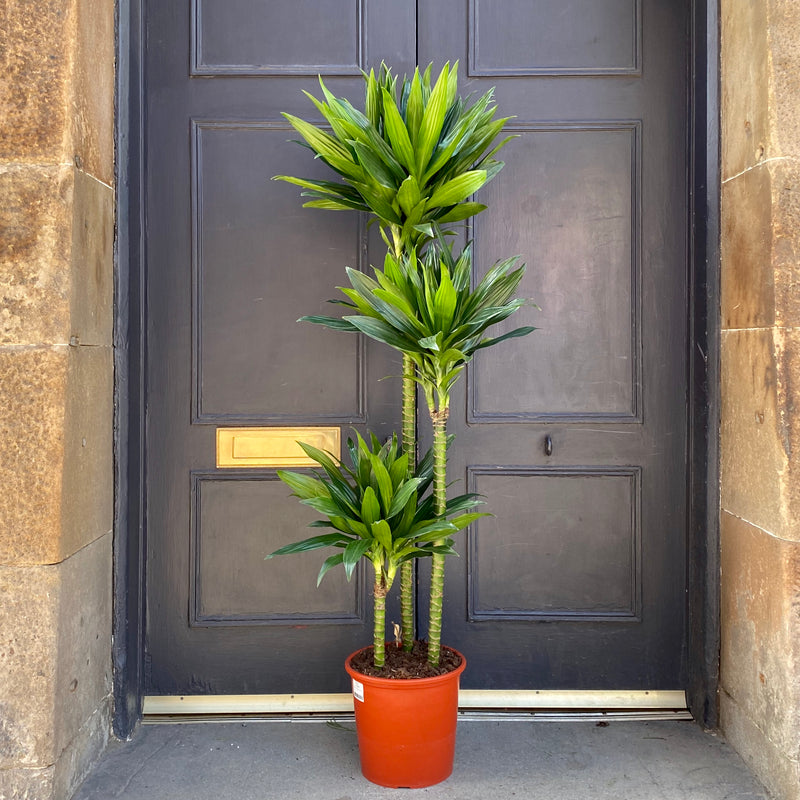 Dracaena 'Green Jewel' (24cm pot)
