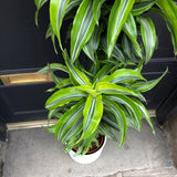 Dracaena 'Lemon Surprise' (24cm pot)