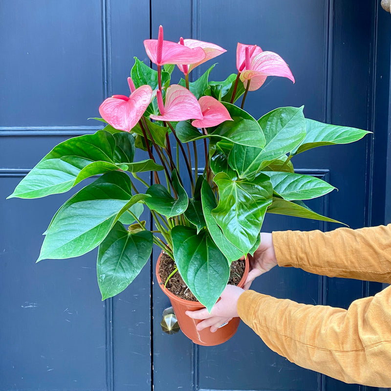 Anthurium 'Summer Love'