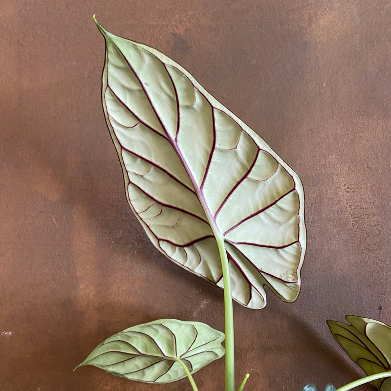 Alocasia 'Dragon Scale'