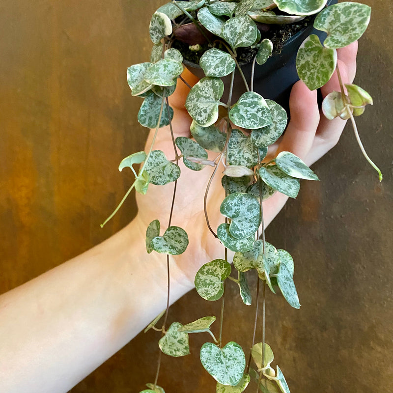 Ceropegia woodii 'Marlies Variegata'