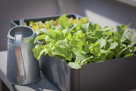 Container growing lettuce and radishes