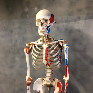 20th century medical skeleton
