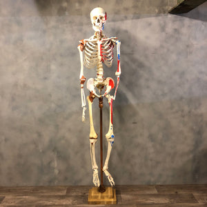Full size skeleton