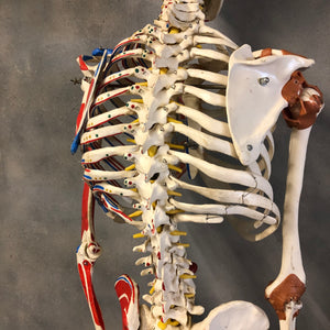 Scientific ribcage