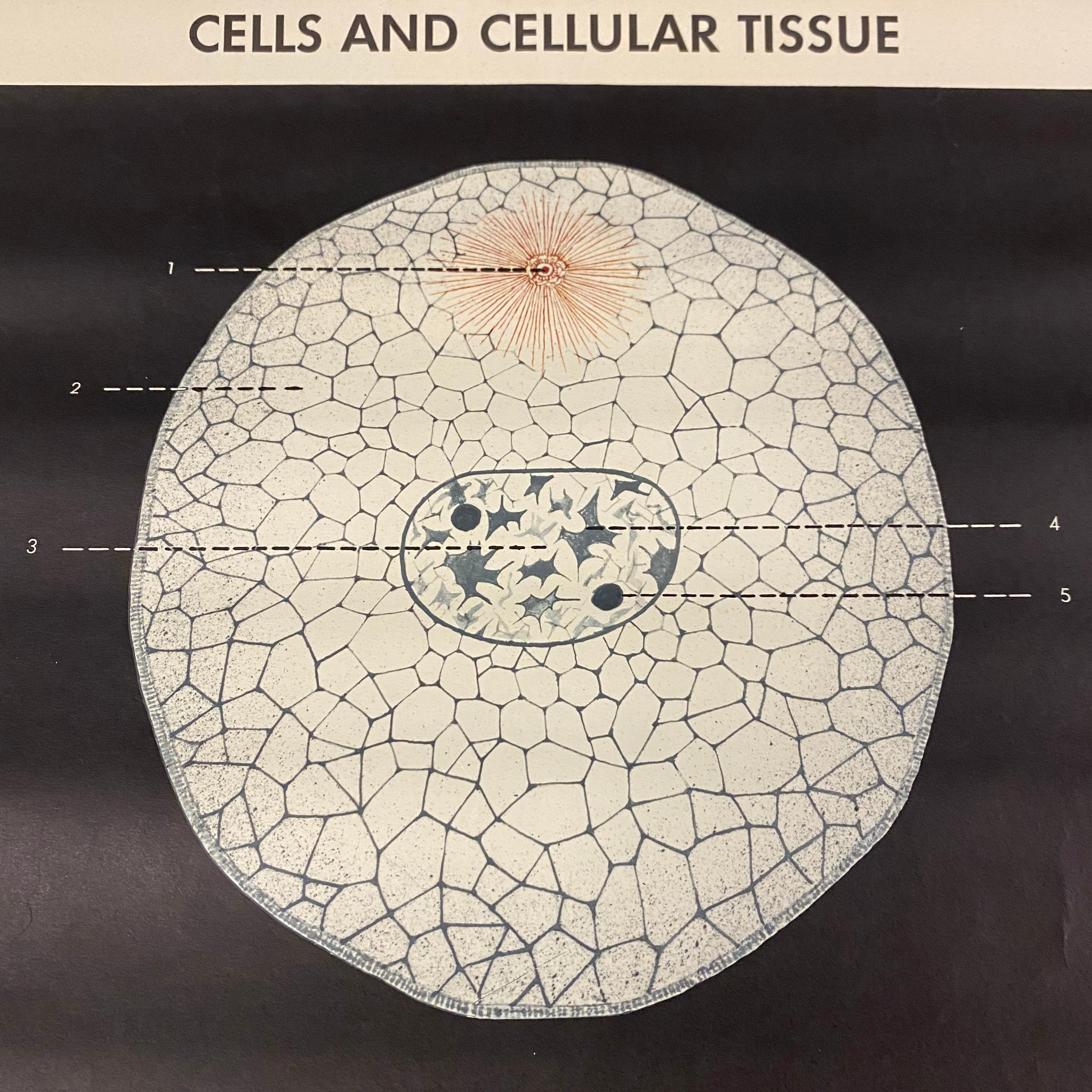 Cell Tissue Medical Chart Adam Rouilly