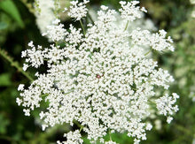 Load image into Gallery viewer, Seeds | Ammi Majus 'Queen Anne's Lace'
