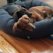 two dachshunds in donut bed warm grey