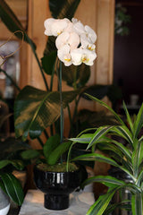 Single Stem White Orchid