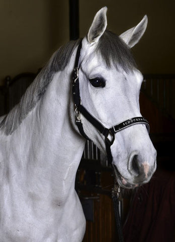 Chrome Halter on White Horse