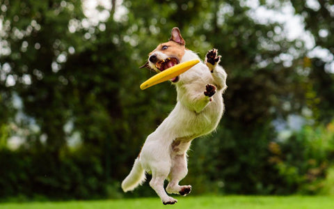 white brown anxious dog playing with a fresbee | malamute pet shop