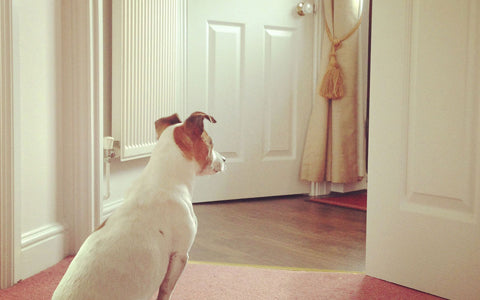 white brown anxious dog waiting his owner to arrive home | malamute pet shop