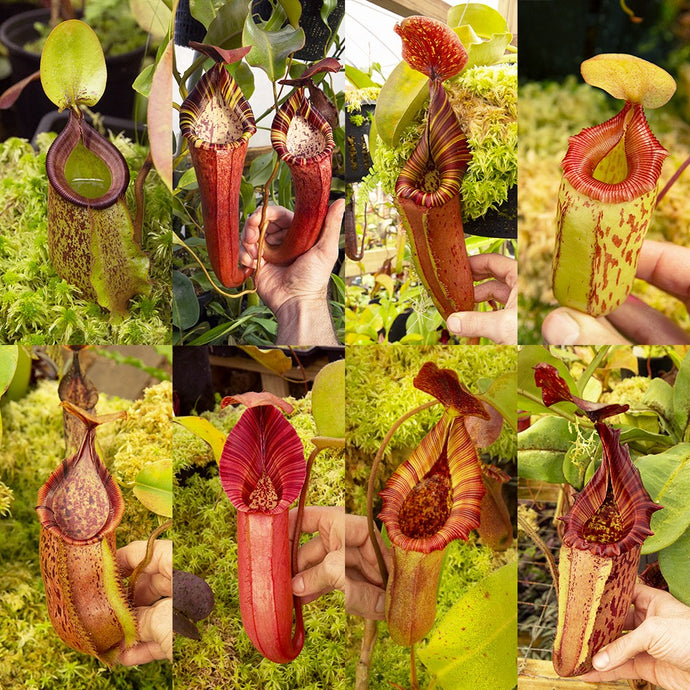 Nepenthes Photos: Guessing contest!
