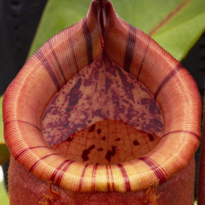 Nepenthes peristomes: August 2020