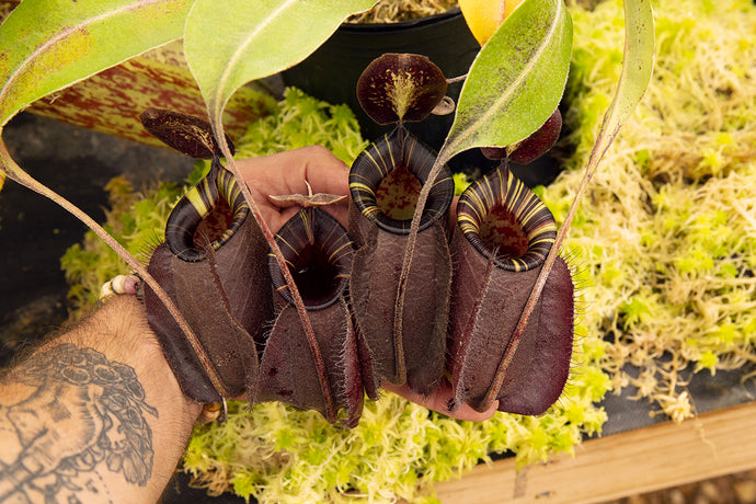 Nepenthes x Hookeriana – Black, Striped Video!