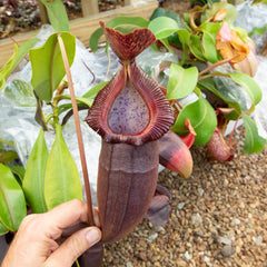 Nepenthes specimens at Redleaf Exotics. Tropical pitcher plants for sale.