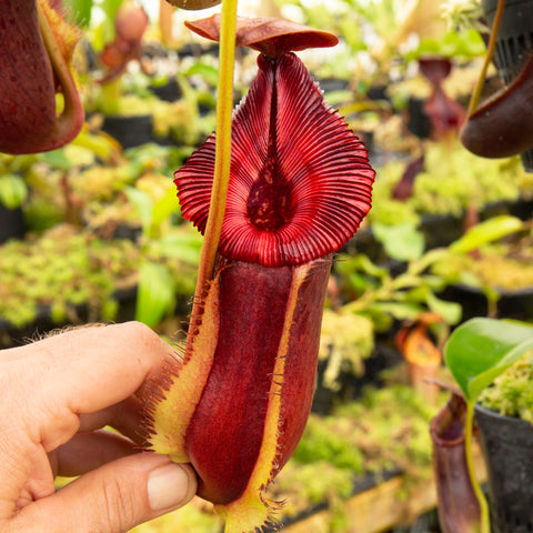Nepenthes lower pitchers - Redleaf Exotics