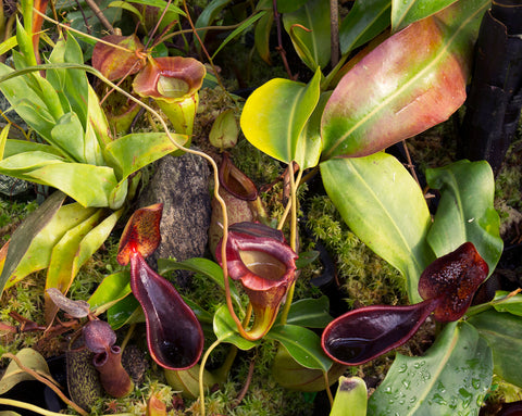 Nepenthes upper pitchers - Redleaf Exotic