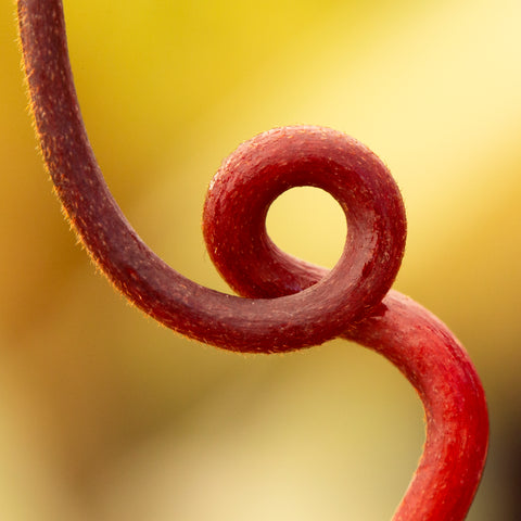 Nepenthes tendril - Redleaf Exotics