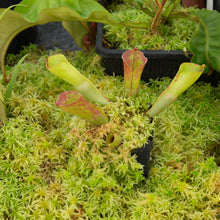 Load image into Gallery viewer, Redleaf-Exotics-Heliamphora