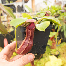 Load image into Gallery viewer, Nepenthes truncata x (maxima x mira)