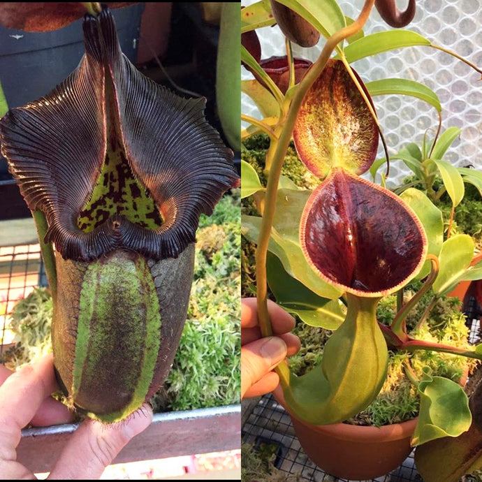 Nepenthes robcantleyi x lowii - Redleaf Exotics - Nepenthes for Sale