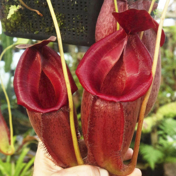 (bellii x talangensis) x veitchii – Hose Mountains