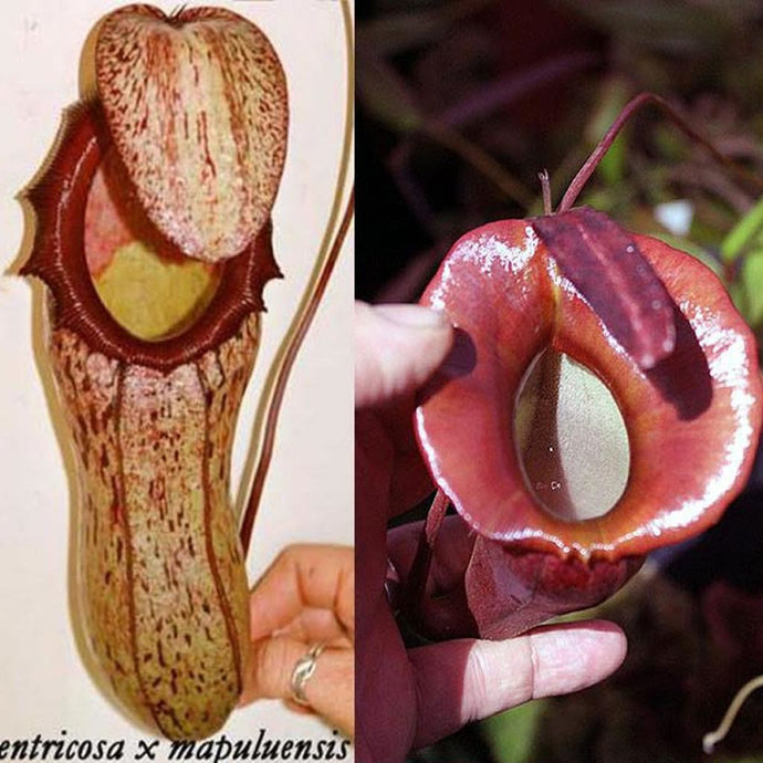 Nepenthes (ventricosa x mapuluensis) x jacquelineae