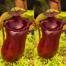 Load image into Gallery viewer, Nepenthes {(ventricosa x sibuyanensis) x [ventricosa x (lowii x ventricosa)]} EP - Rooted Cutting